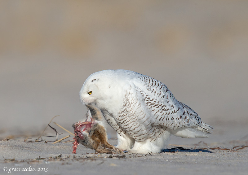 Snowy Eating Rabbit 3_O8U2106-Edit.jpg