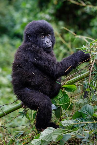 African_Apes_0218_PSokol-4239.jpg