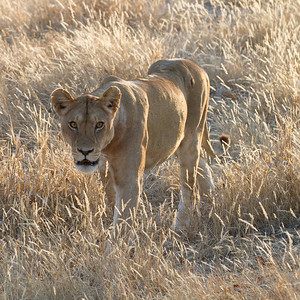 Lions at dawn - Ruaha 07 2012