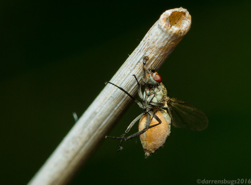 Fly infected with parasitic fungus, genus Entomophthora, in Iowa, USA.