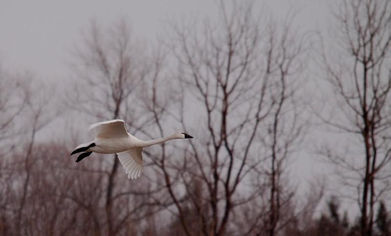 2011 swan migration aylmer (22 of 51).jpg