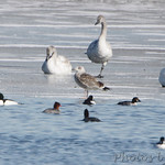Great Black-backed Gull, Trumpeter Swans, Common Mergansers and Common Goldeneye