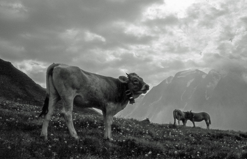 Cows - Alps, Italy - About 1994