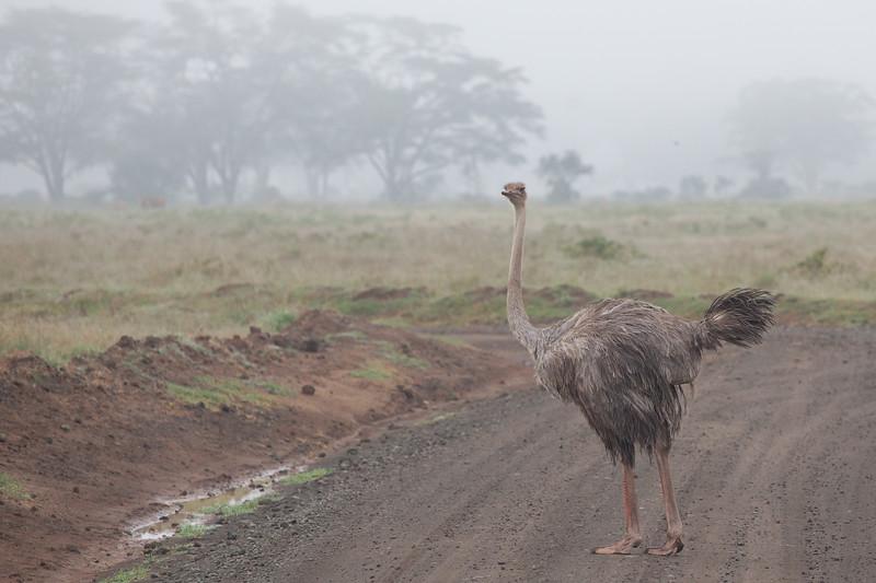 Common Ostrich - Lake Nakuru National Park, Kenya