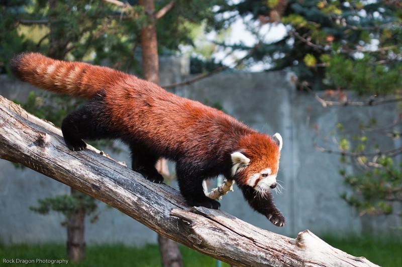 Red Panda, Calgary Zoo, Sept. 30