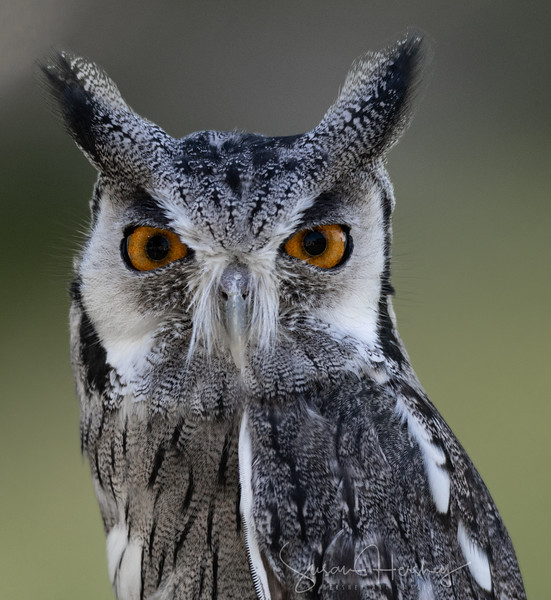 White-Faced Scops Owl  close up