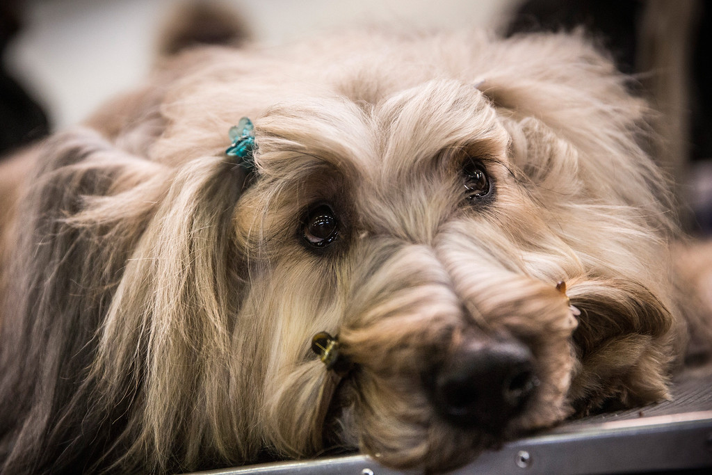 ". A Briard named ""Cagney\"" waits with hairclips in during the 138th annual Westminster Dog Show at the Piers 92/94 on February 10, 2014 in New York City. The annual dog show showcases the best dogs from around world for the next two days in New York.  (Photo by Andrew Burton/Getty Images)"