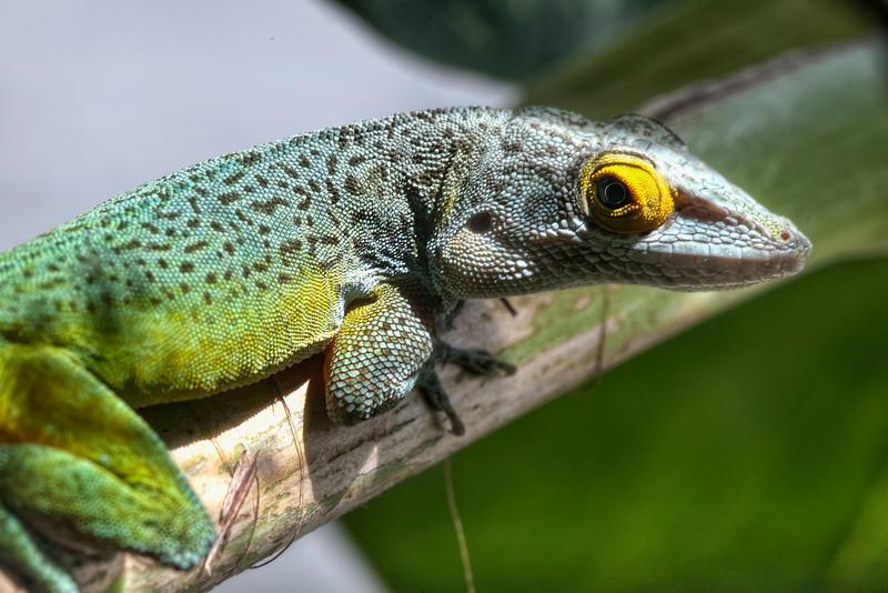 lizard, Bermuda.jpg