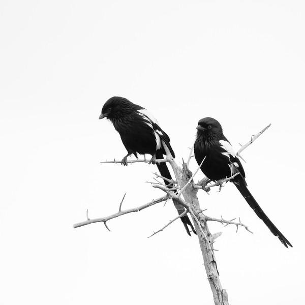 Magpie Shrike - Tarangire National Park, Tanzania