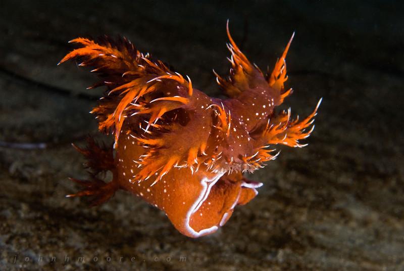 A swimming rainbow nudibranch