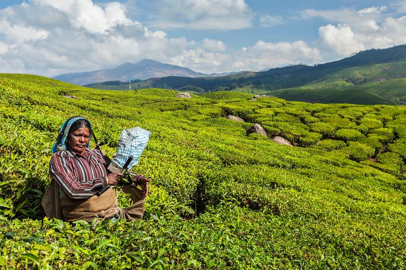 Indian woman harvests tea leaves at tea plantation at Munnar