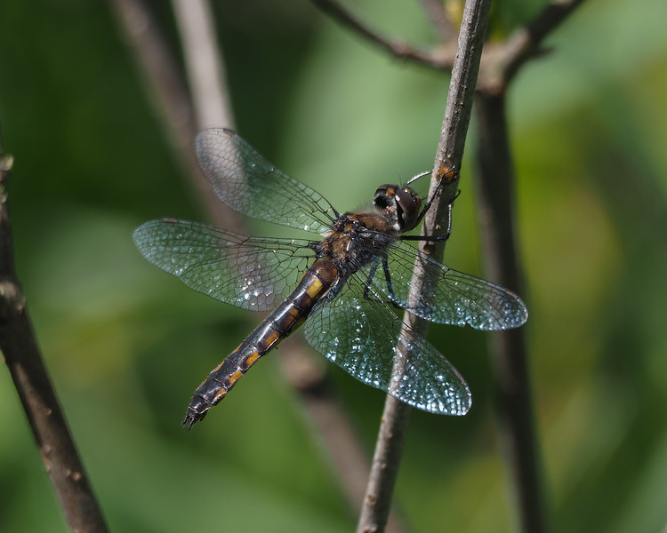 Common Baskettail, female