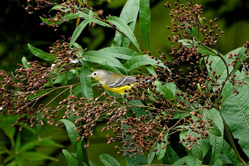 Magnolia Warbler 3 - Version 2.jpg