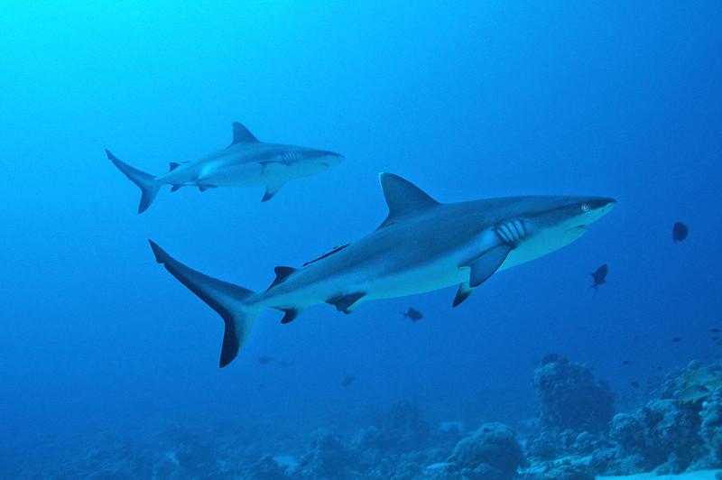 Riffhai, Sudan, Rotes Meer / reef shark, Sudan Red Sea, Carcharhinus perezi