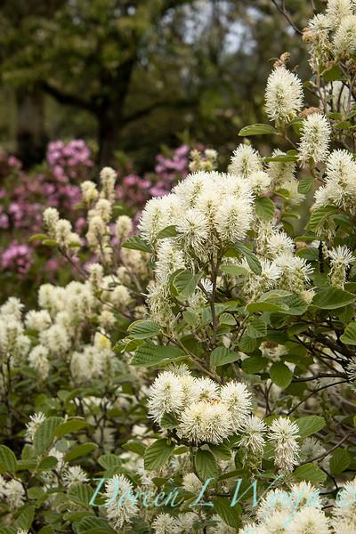 Fothergilla major 'Mount Airy' flowering_1357.jpg