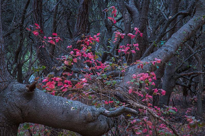Poison Oak Los Osos.jpg