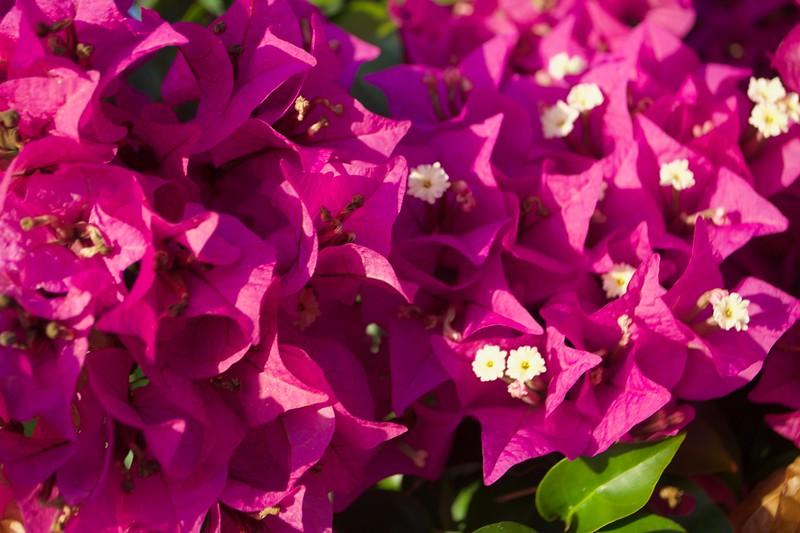 Bouganvilla_Fuscia Closeup.jpg
