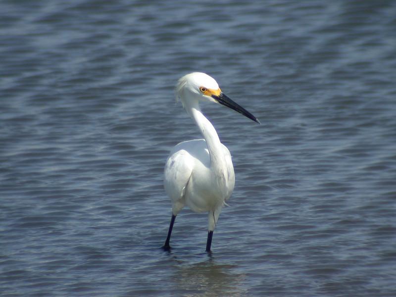 Egret - Snowy - Fernandino Beach, FL