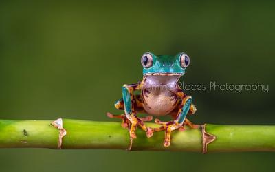 Frogs (Studio)