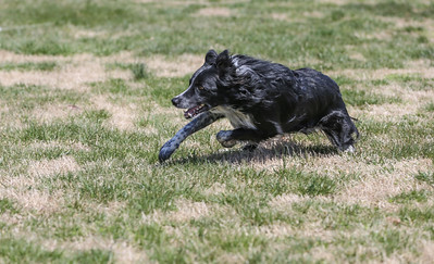 Lure Coursing at Hog Dog - 4/8/18