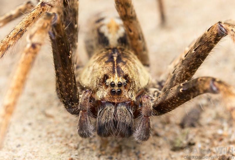Ctenidae - wandering spider