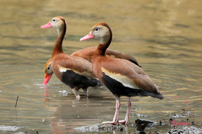 Whistling Ducks IMG_5228.jpg