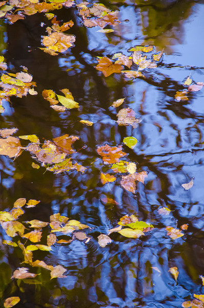 Fallen tree leaves float down the creek brightening the dark reflections of overhead branches.