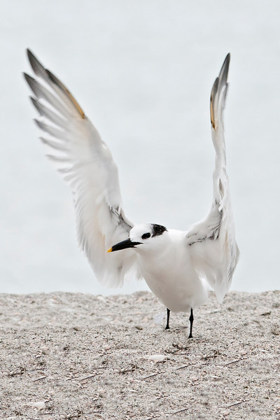 Tern - Sandwich - Blind Pass - Sanibel Island, FL - 05