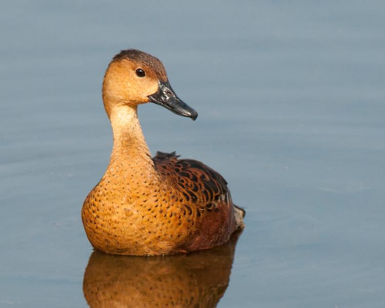 Wandering Whistling-Duck, Kakadu NP, NT, Oct 2010-1a.jpg