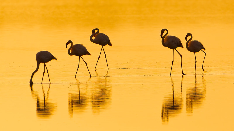 Flamingos at Sunrise