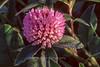 Red Clover (Trifolium pretense)