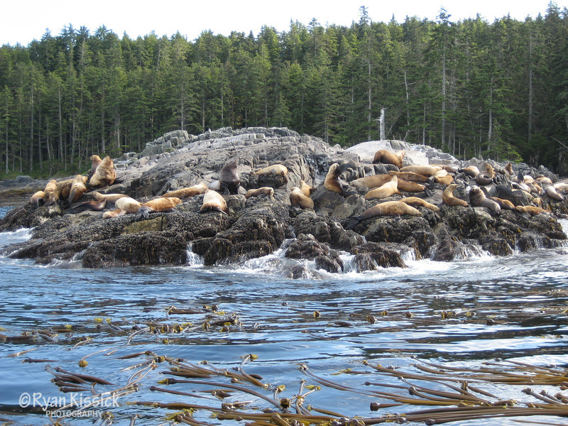 Sea lions congregate on the north side of Langara Island