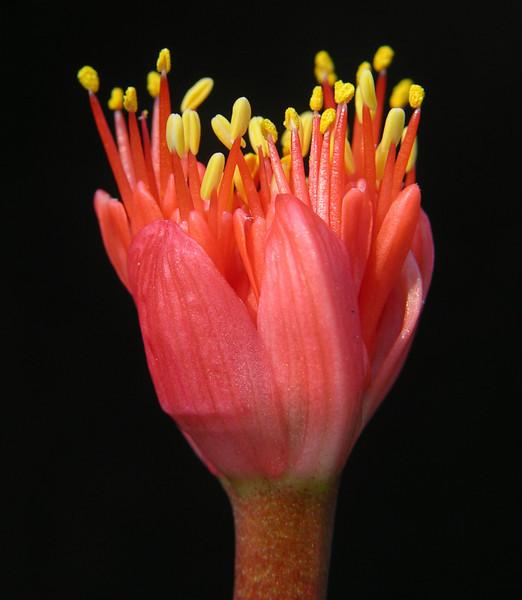 Haemanthus sanguinensus