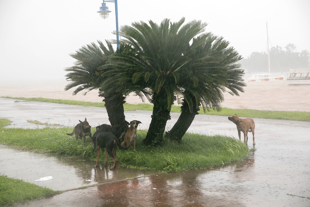 . Dogs take refuge from the rain as Hurricane Irma makes its entry into Samana, Dominican Republic, Thursday, Sept. 7, 2017. (AP Photo/Tatiana Fernandez)