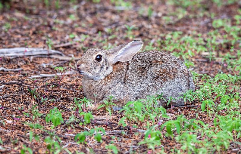 IMG_7543 3 Juv Jack Rabbit Manzano's RV Park Silver City NM.jpg