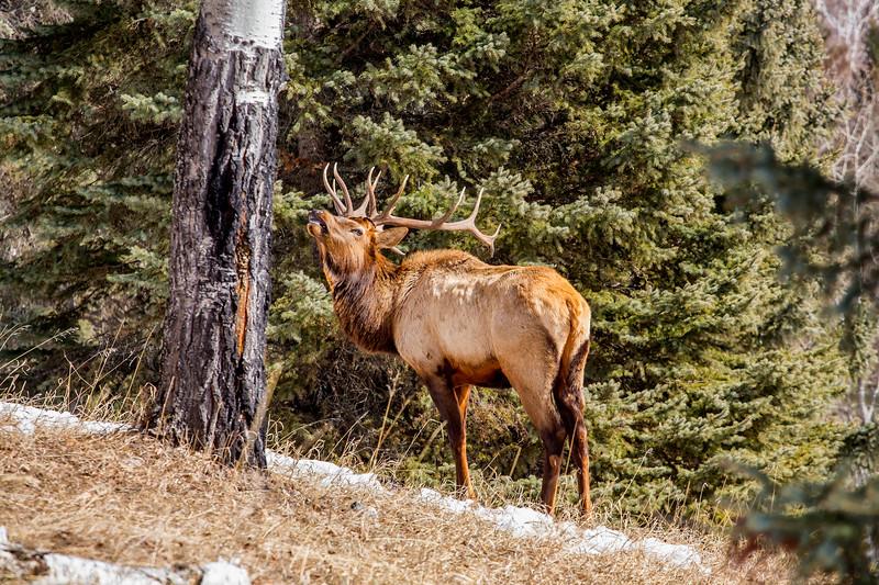 Waskesiu Elk April 2018.jpg