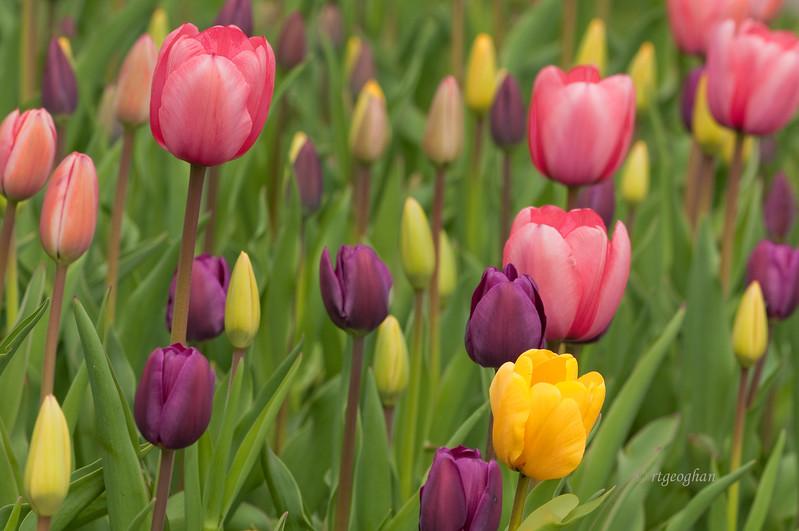 Tulip Garden_April 20_1861.jpg