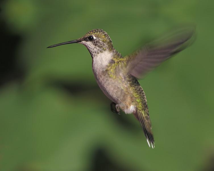 sx50_hummingbird_bif_787_1.jpg