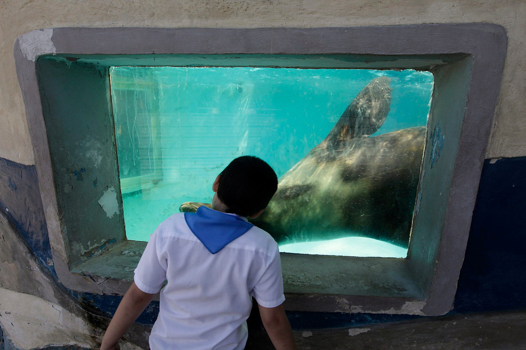 . A student from the Dora Alonso School, which specializes in treating children who suffer from autism spectrum disorders, looks at a sea lion at the Cuban National Aquarium in Havana on May 7, 2013. The national aquarium hosts groups of children who suffer from different disorders each week on guided tours where they learn to interact with dolphins and seals as part of their therapy. Picture taken May 7, 2013.  REUTERS/Enrique De La Osa