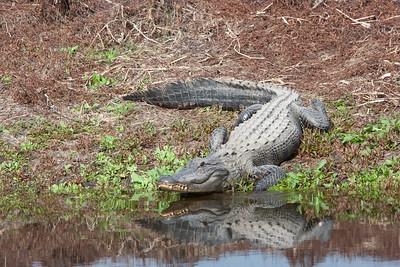 untitled20110203_Alligator MyakkaLakeFL_7I2B4674_11-02-03