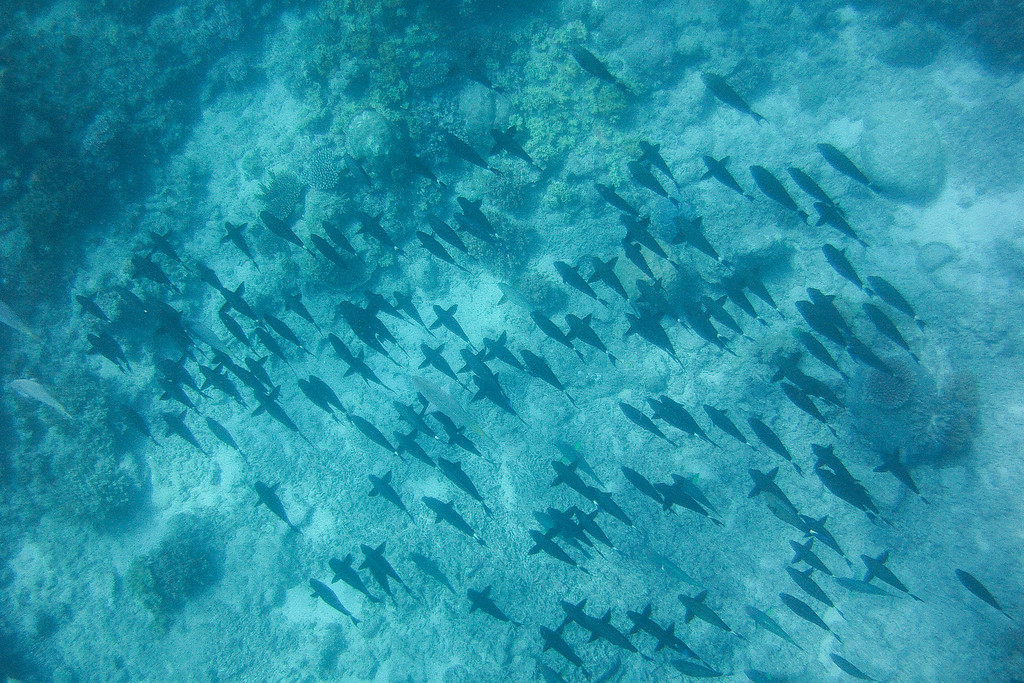 School of fish swimming around to find coral to eat