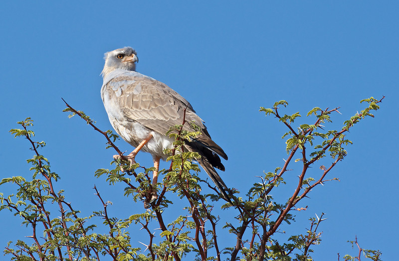 Pale chanting goshawk, Kgaligadi Transfrontier Park, South Africa