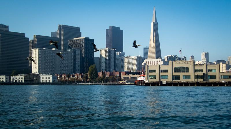Pelicans in front of Pier 9