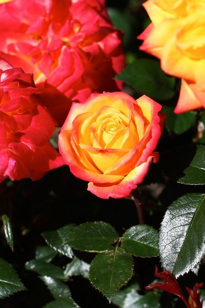 Portland International Rose Test Garden  2257.jpg