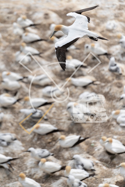 Top aerial view over adult Australasian gannet overflying the colony at Muriwai (New Zealand) in search of its nest and young