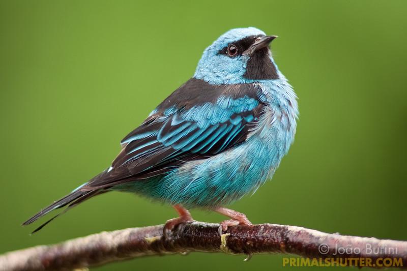 Male blue dacnis
