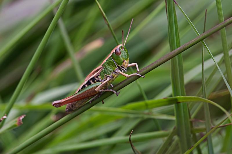 Lesser Marsh Grasshopper_MG_3205.jpg