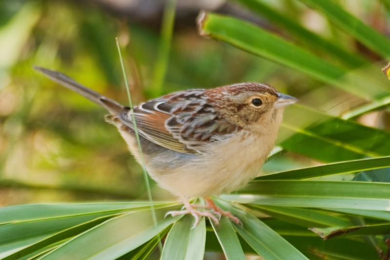 Sparrow - Bachman's - Brickyard Road - Apalachicola National Forest - FL-02