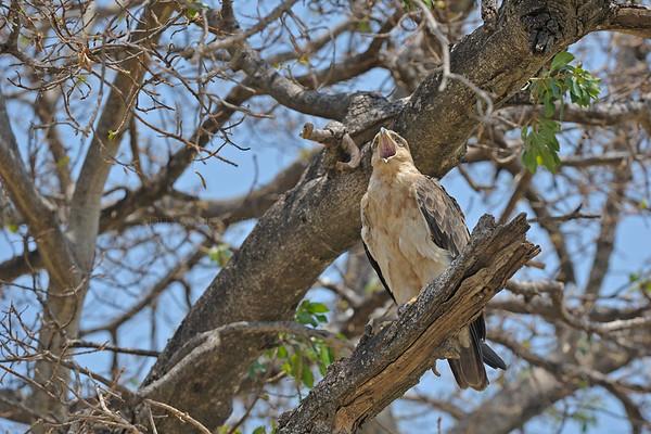 Tawny eagle in Masai Mara