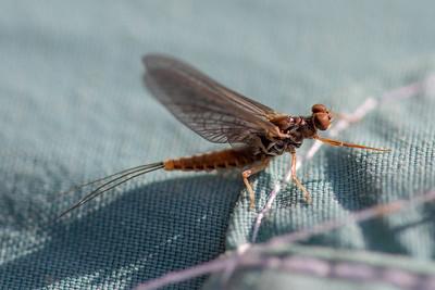 Ephemeroptera - Mayflies